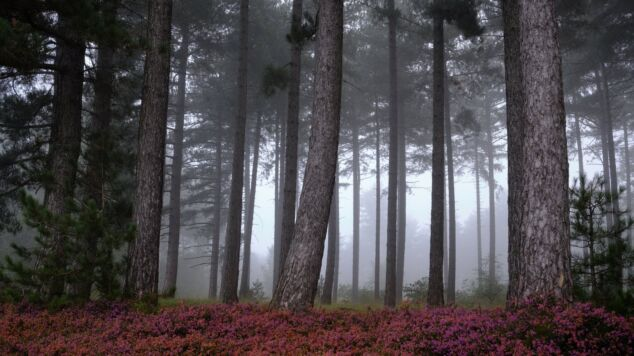 Early morning mist drifts through the trees in National Park Hoge Kempen (Limburg, Belgium). Because it was at the end of September, the heath was still quite purple which gives the scene a nice color-contrast as well! (2017)